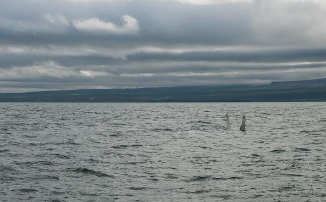 Ballenas en Husavik