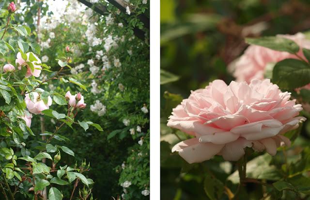 Frodig og duftende have med roser