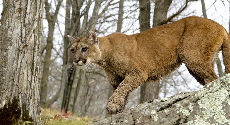 top 10 cougars genk