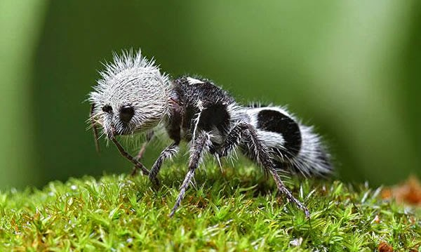 Animals You May Not Have Known Existed - The Panda Ant