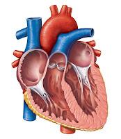 Penyakit Lemah Jantung Obati dengan ICP Capsule