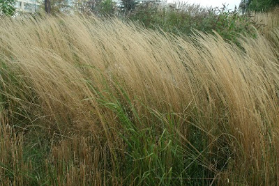 swaying in the wind at Toronto Music Garden by garden muses: a Toronto gardening blog