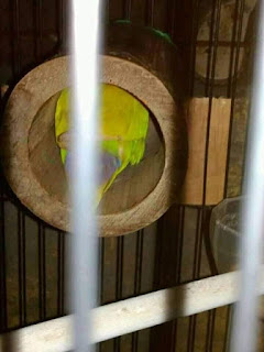 SETTINGAN BAMBU SETAN BISA MEREDAM BIRAHI BURUNG LOVEBIRD