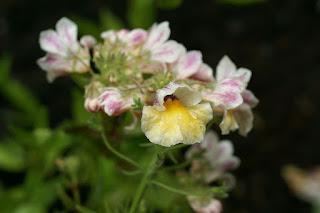 Nemesia sunsatia - Némésia hybride