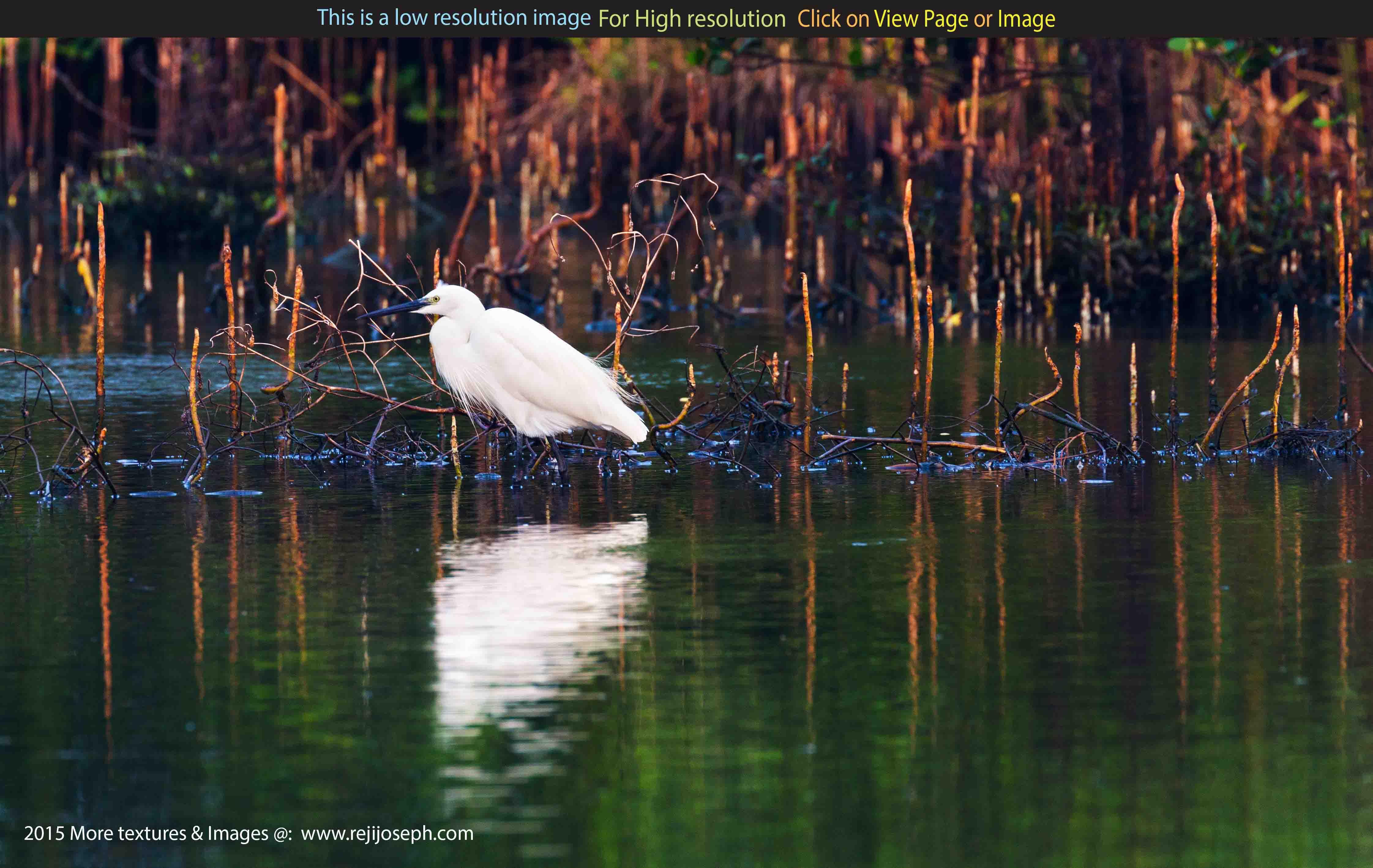 Snowy Egret bird 00001
