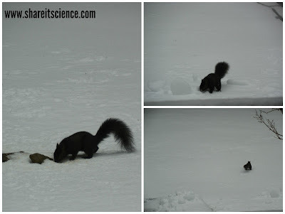 black version of a grey squirrel learn about wildlife