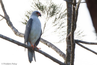 Grey headed Goshawk