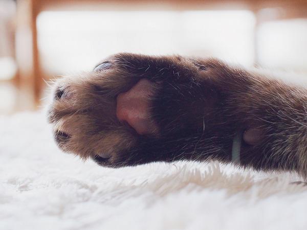 シャムトラ猫のあずき色の肉球