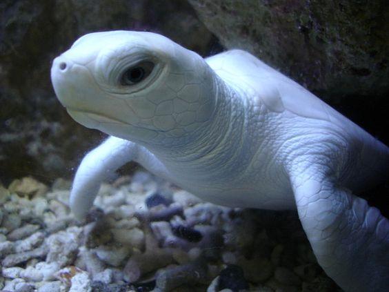 Turtle | A-Z List of 125 Rare Albino Animals [Pics]