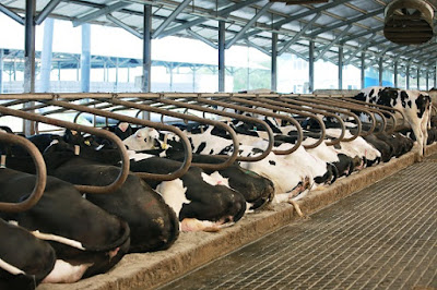 Mengenal Susu Dari Sapi A2 Yang Mengandung Nutrisi Dan Manfaat Lebih Baik Pada Sistem Pencernaan