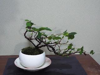 スイレンボクの盆栽