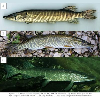 Species New to Science: [Ichthyology • 2011] Esox cisalpinius ...