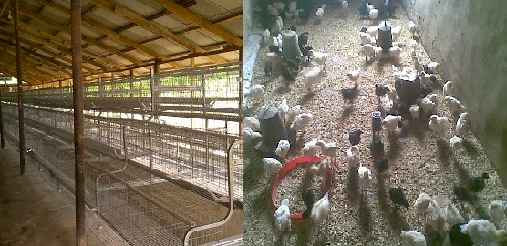 battery cages and deep litter in poultry