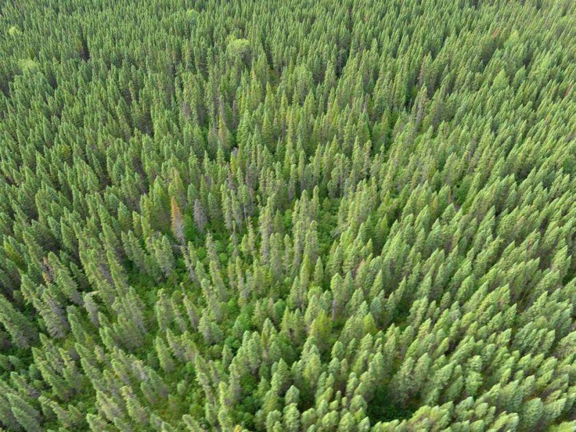 Florestas de Coníferas