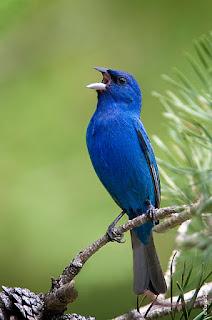 Burung Kicau - Lama Proses Mabung Burung Kicau dan Tips Untuk Merawatnya
