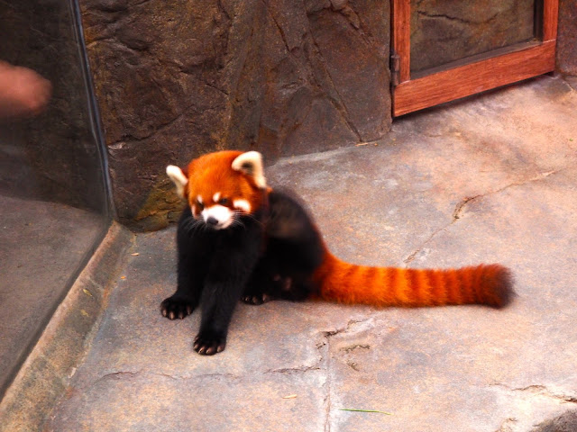 Red panda in the Amazing Asian Animals area of Ocean Park