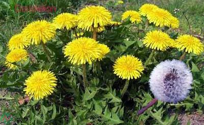 dandelion flower, dandelion