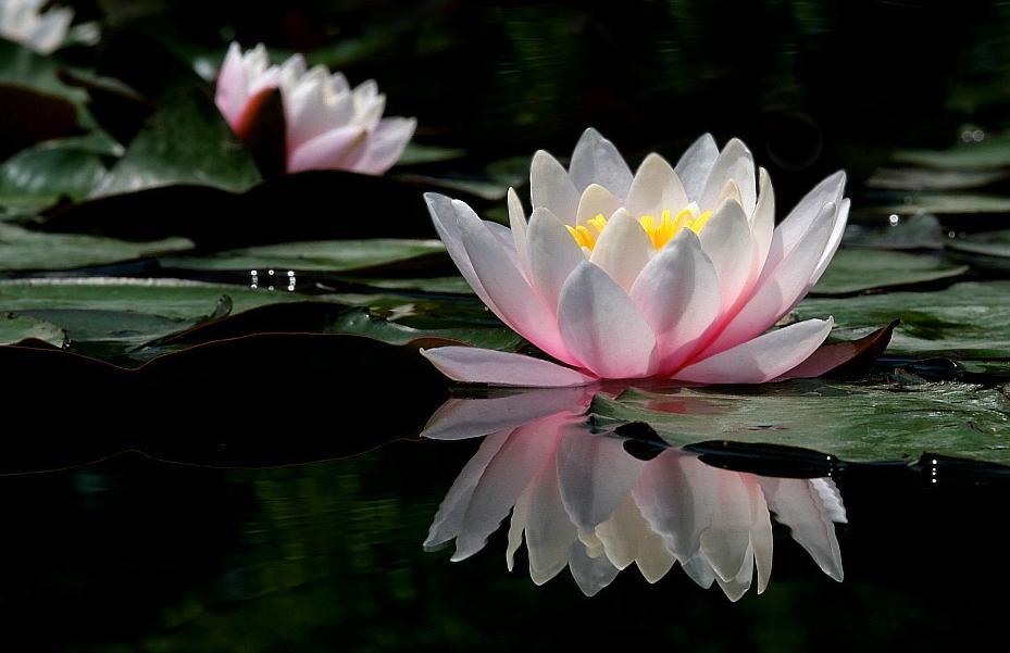 Bunga Teratai Lambang Lambang Buddhis Buddhist Education