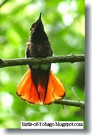 Ruby-topaz Hummingbird (Chrysolampis mosquitus) Birds of Trinidad & Tobago
