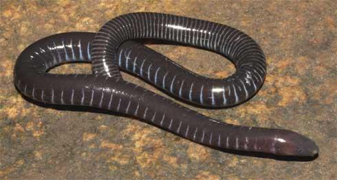 Amphibians: Geotrypetes seraphini,