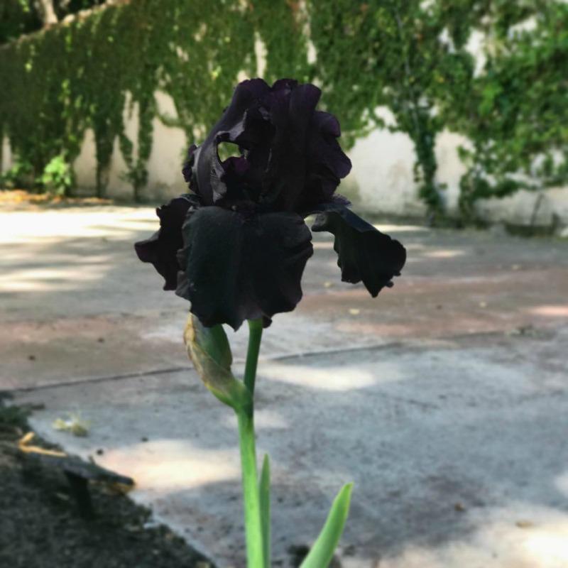 Flor iris negro