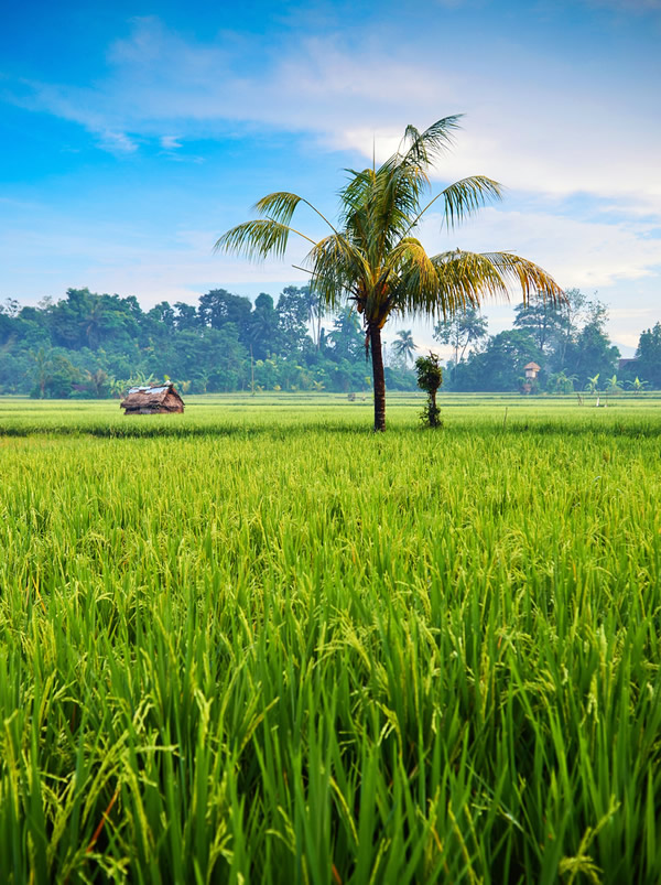 Green revolution - paddy field in Indonesia