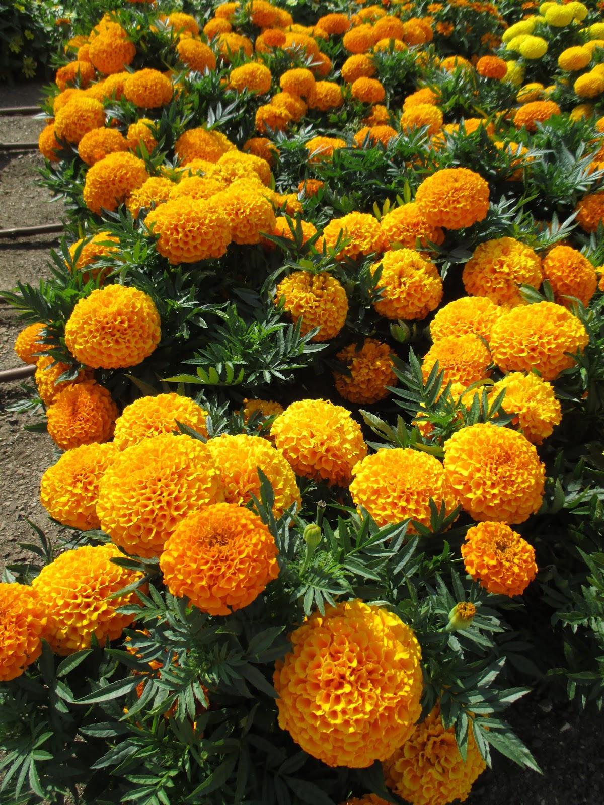 Fist Sized Marigolds Rotary Botanical Gardens