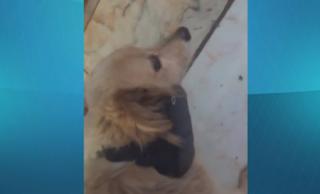 Cachorro é flagrado com tornozeleira eletrônica do dono no pescoço