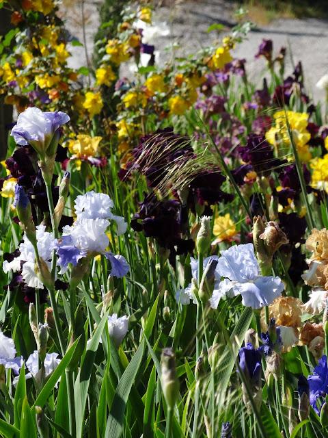Floraisons 2016 de nos grands iris barbus et Bilan - Page 2 DSC07362