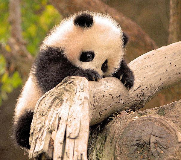 Baby Animals: Baby Panda 2