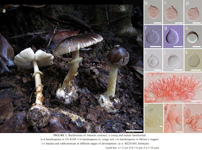 Fungi O 2016 Amanita Castanea A New Species And Four Records Of Amanitaceae Basidiomycota From Northern Thailand
