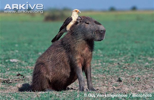 interactions betweeen sudamerican wildlifw capybara