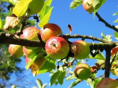 khasiat-buah-apel-untuk-ibu-hamil
