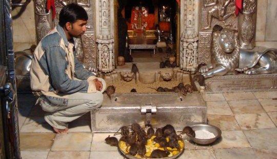 اغرب معبد في العالم  معبد كارنيجي الفئران المقدسة الهند
