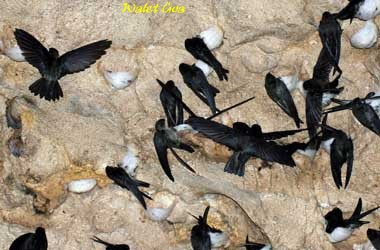 Cara Membuat Makanan Alami Burung Walet Agar Cepat Bersarang