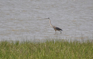 blue heron wading in water in a salt marsh