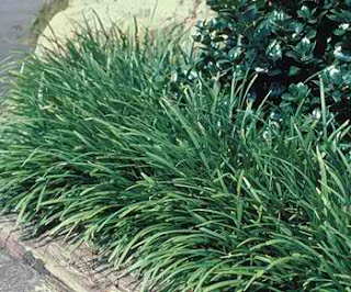 Lilyturf, top air-purifying plant