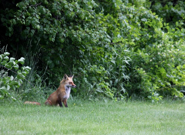 fox on Mackworth