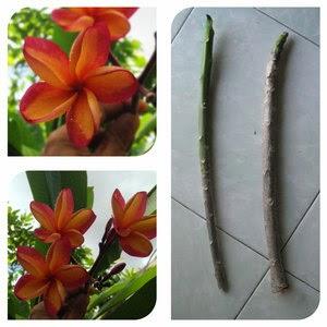 Stek Batang Kamboja