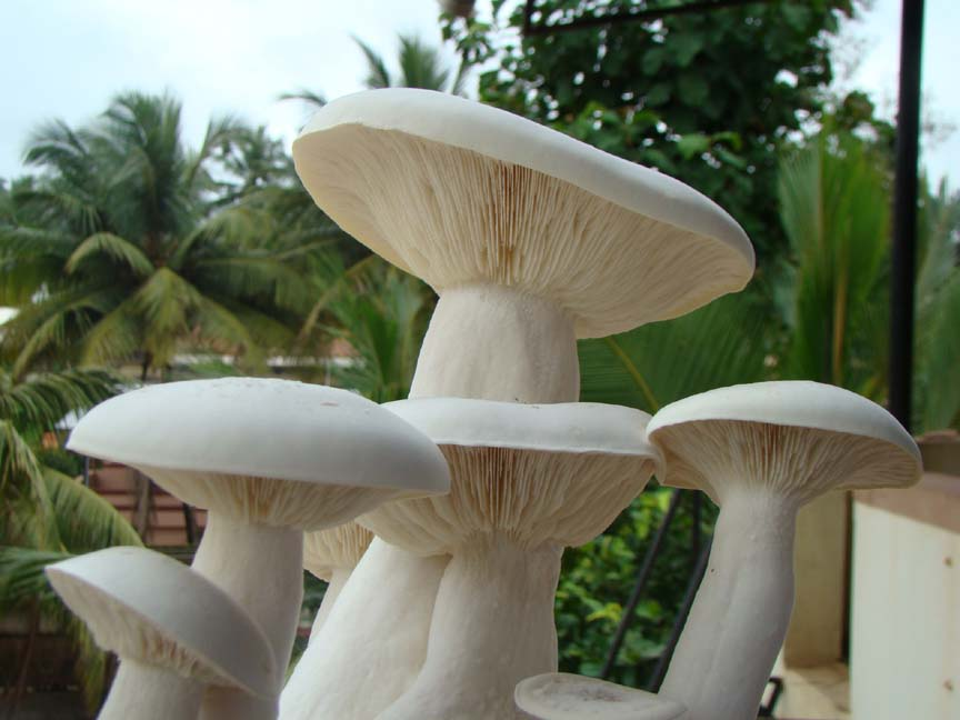 Agro Farming Business In India: Milky mushroom cultivation