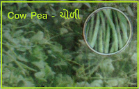 cow pea seeds in ahmedabad