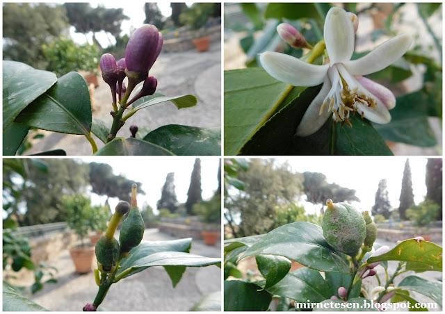 Палатин - цветение лимонов
