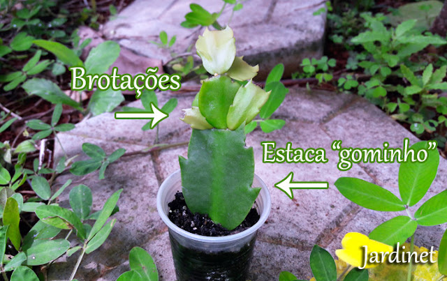Substrato orgânico para flor-de-maio