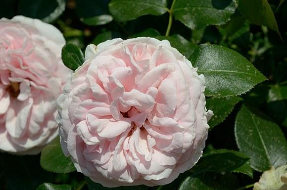 Giardina сорт розы фото Минск купить саженцы питомник отзывы