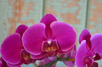 Orchid plant flowers from a florist