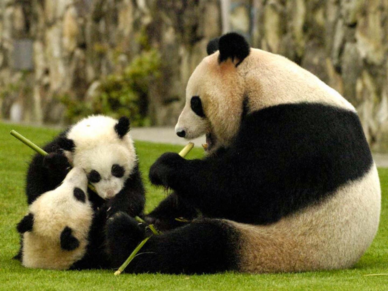 Gambar Panda Lucu Serta Asal Usul Panda Sealkazz Blog