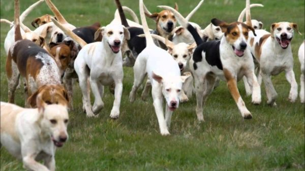 Científicos estudian la sociabilidad de los perros