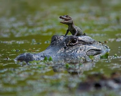 Funny Alligator In Photos Images And Cute Animals