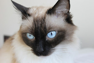Close-up of a Siamese cat's face.
