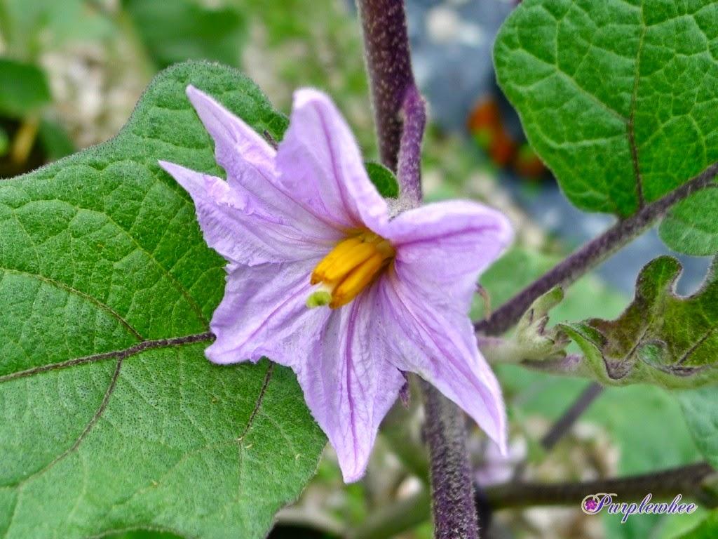 薇薇花園: 茄子花